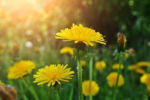 dandelion flowers yellow flowers