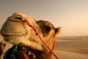 desert animals closeup camels