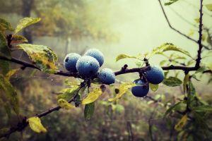 dew twigs fruit nature berries