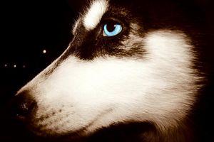 dog animals blue eyes