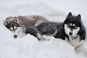 dog animals siberian husky  snow