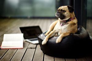 dog books animals pug