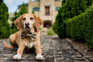 dog bowtie depth of field hedges animals