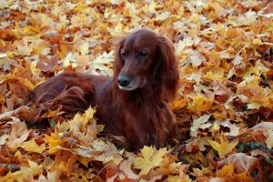 dog fall animals setters leaves