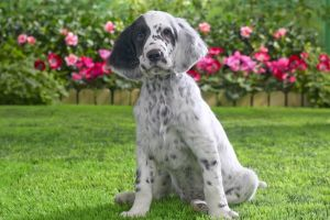 dog setters animals puppies