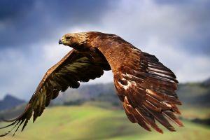 eagle animals birds