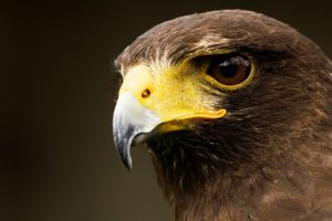 eagle animals brown eyes simple background birds
