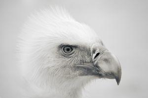 eagle birds animals