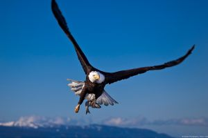 eagle nature birds landscape wildlife animals bald eagle