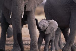 elephant animals baby animals