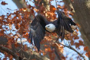 fall flying animals eagle birds