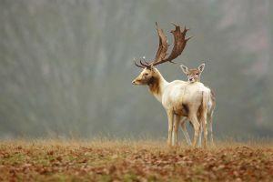 fawns deer animals baby animals