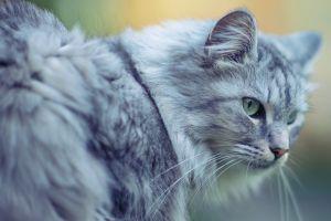 feline cats animals nature