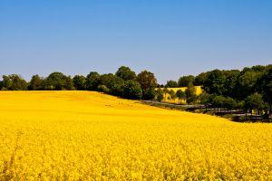 field rapeseed nature landscape