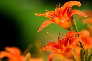flowers lilies orange flowers