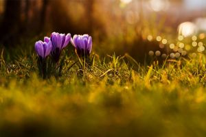 flowers macro bokeh crocus purple flowers grass nature depth of field