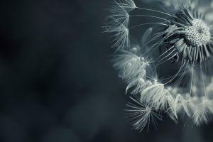flowers macro dandelion