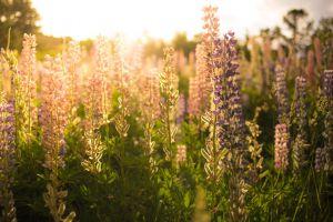 flowers sunlight nature plants lavender
