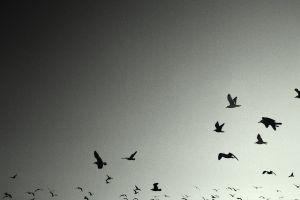 flying birds monochrome animals