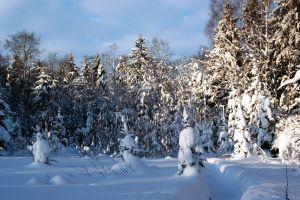 forest landscape winter snow