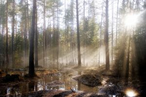 forest sun rays trees nature landscape
