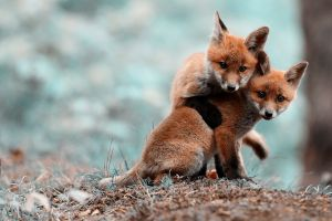 fox baby animals animals