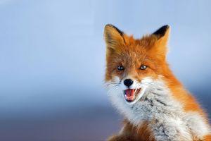 fox mammals animals