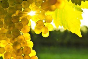 fruit grapes blurred macro sunlight leaves berries plants