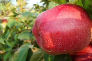 fruit plants apples food outdoors