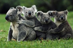 grass nature field family koalas animals