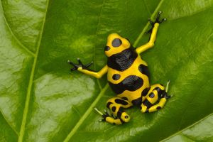 green frog leaves yellow plants nature poison dart frogs animals black amphibian