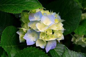 hydrangea plants leaves flowers
