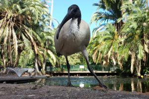 ibis birds animals