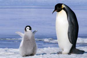 ice penguins birds baby animals