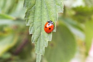 insect ladybugs animals leaves animals