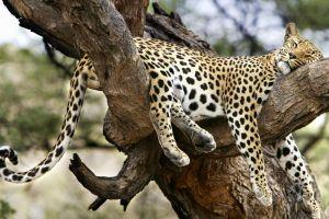 jaguars nature leopard (animal) animals