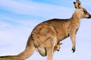 kangaroos baby animals animals