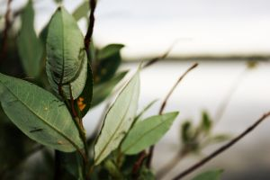 karelia macro landscape leaves