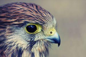 kestrel animals falcons birds