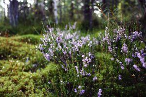 landscape flowers nature karelia