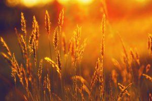 landscape plants field sunset sunlight spikelets summer wheat nature