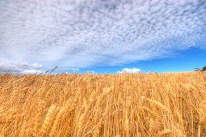 landscape sky wheat clouds field plants