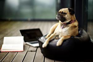 laptop indoors animals dog