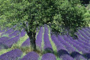 lavender field nature purple flowers provence plants flowers trees france landscape