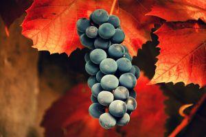 leaves black grapes grapes fruit
