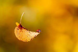 leaves macro ladybugs bokeh insect