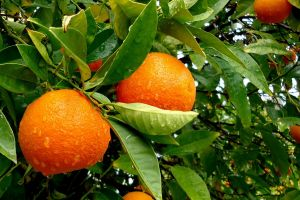 leaves plants branch green water drops nature orange (fruit) fruit orange