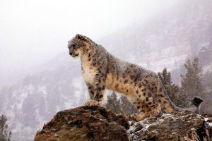 leopard (animal) animals snow leopards