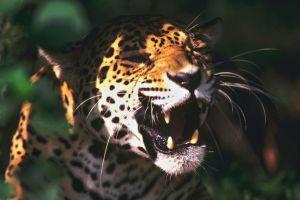 leopard (animal) animals sunlight