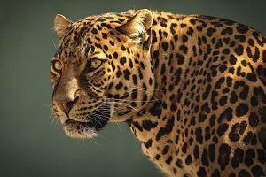 leopard (animal) big cats nature leopard animals